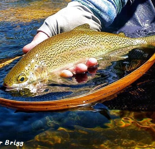 Trout1 - Peter Brigg