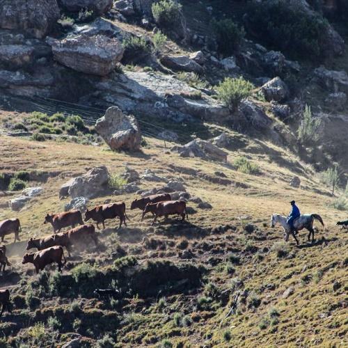 Balloch - herding cattle