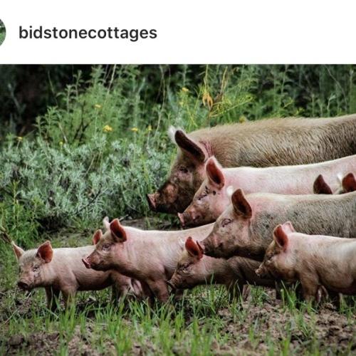 Bidstone - pigs